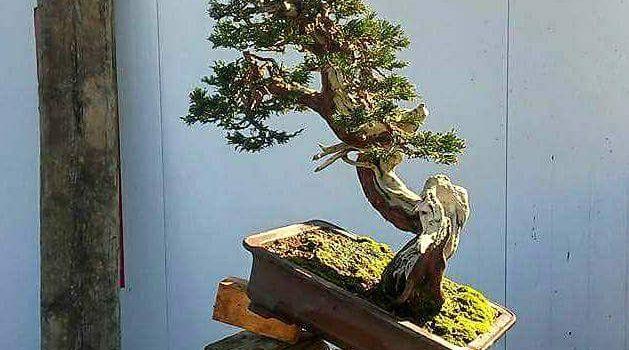 Juníperus Sabina